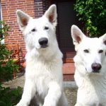 aufmerksame weisse Schäferhunde