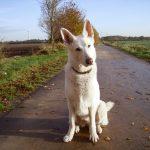 Anny - Weisser Schäferhund