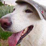 Hütehund … Hund mit Hut. Hundetraining und Hunde-Seminare in Lübeck, Schleswig-Holstein bis Hamburg und Umgebung