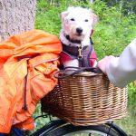 Hund blickt aus dem Fahrradkorb