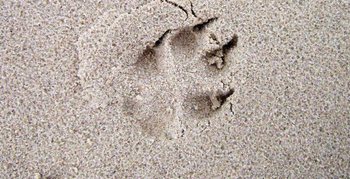 Hundespur im Sand