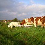 Weisser Schäferhund und Kühe trinken aus dem Trog