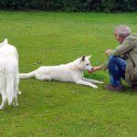 HZSH Thomas Schwerdtfeger mit seinen Weissen Schäferhunden