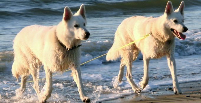 Weisse Schäferhunde am Meer